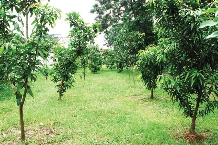 bibit pohon mangga