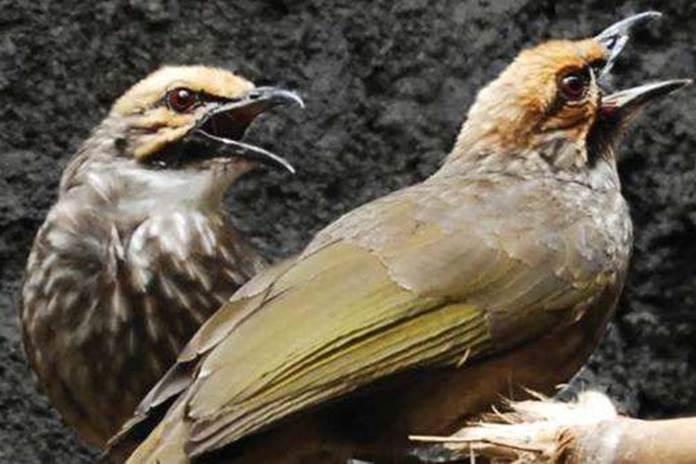 kondisi fisik burung cucakrawa