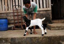 kandang kambing etawa jantan