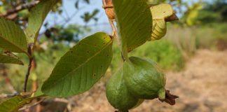 kutu pohon jambu biji