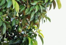 pohon avokad