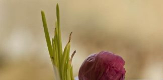 tanaman bawang merah