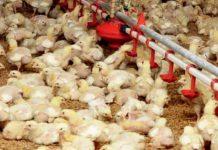 keseragaman ayam
