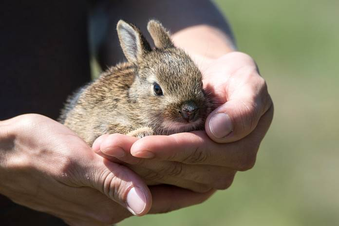 kelinci siap kawin