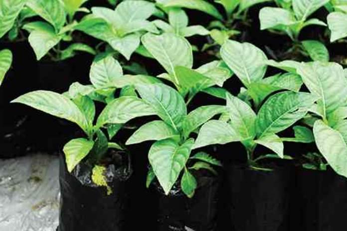 penyakit tanaman jabon