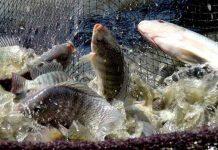 ikan nila sakit