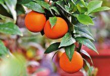 tanaman jeruk sunkist