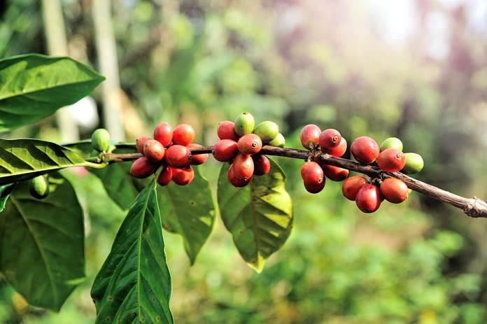 buah kopi rontok
