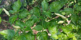 gulma tanaman cabai
