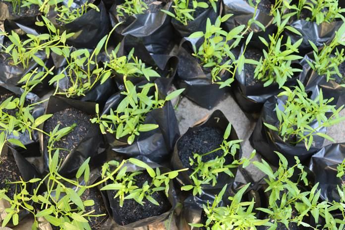 hama dan penyakit tanaman kangkung