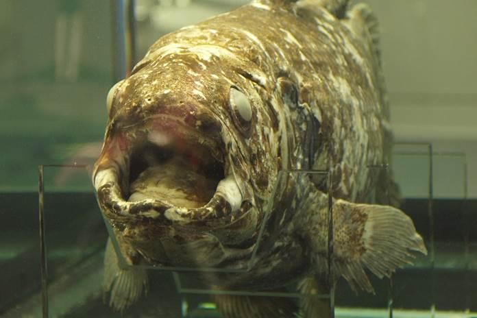 ikan raja laut