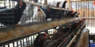 peremajaan ayam kampung