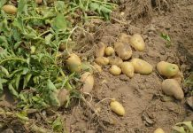 kentang muda
