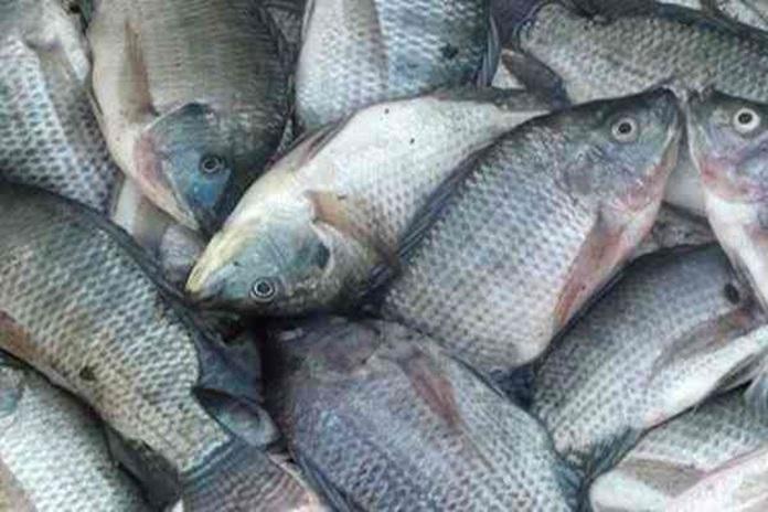vaksin ikan nila