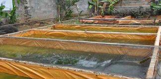 kolam terpal ikan gurami