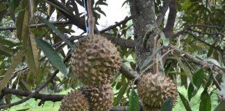 kebun durian