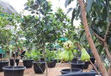 tabulampot jambu air