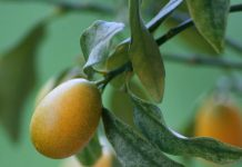 menanam jeruk nagami