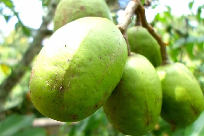 merawat pohon kedondong