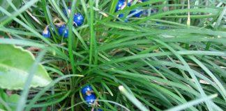 Ophiopogon Japonicas