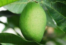 pembungkusan buah mangga