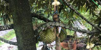 durian berbuah di luar musim