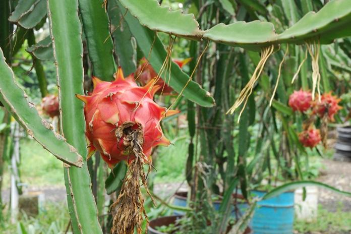 tanaman buah naga