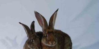 kelinci potong