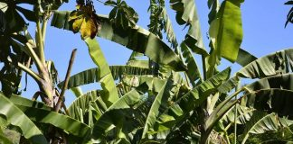 kompos batang pisang
