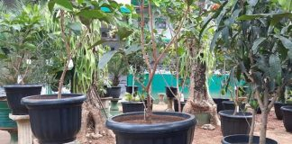 tanaman buah di pekarangan