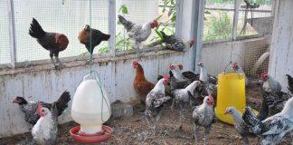 mencuci kandang ayam
