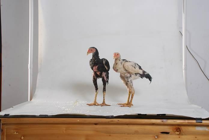 ayam tidak seragam