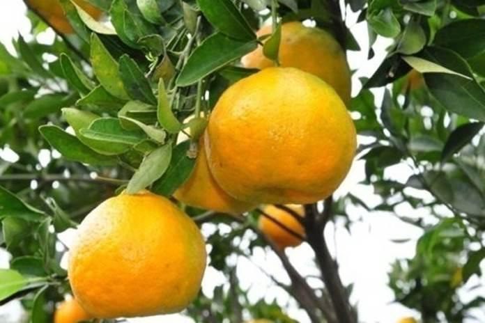 kutu daun pohon jeruk