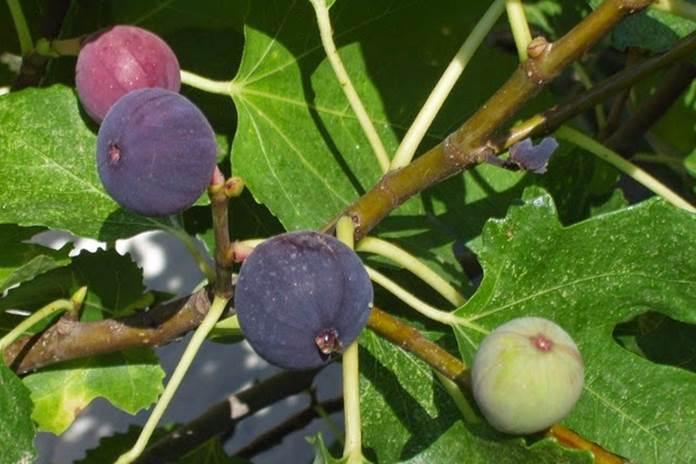 merawat tanaman buah tin