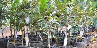 tanaman buah durian