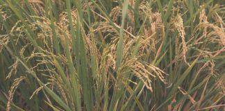 pupuk padi