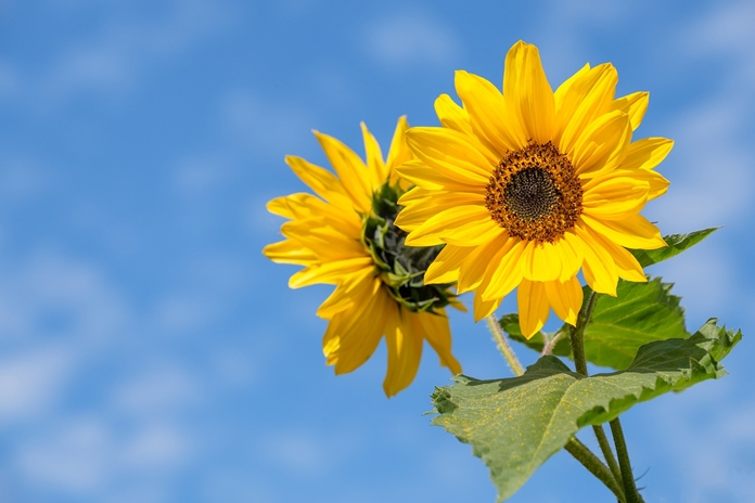 menanam bunga matahari