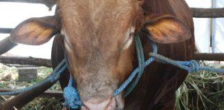 jenis rumpu untuk sapi