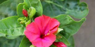 bunga pukul empat