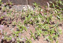 rumput mutiara