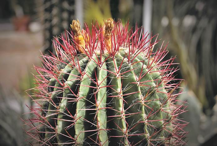 budidaya kaktus