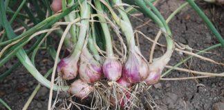 bawang merah organik