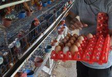 ekspor telur tetas