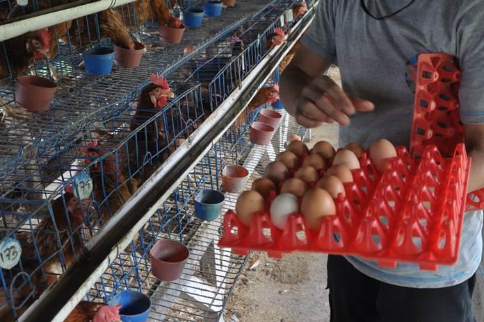 menetaskan telur ayam