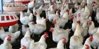 kelumpuhan pada ayam