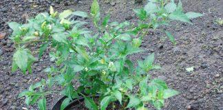 pestisida alami tanaman cabai