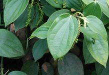 tanaman lada