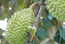 pupuk pohon durian