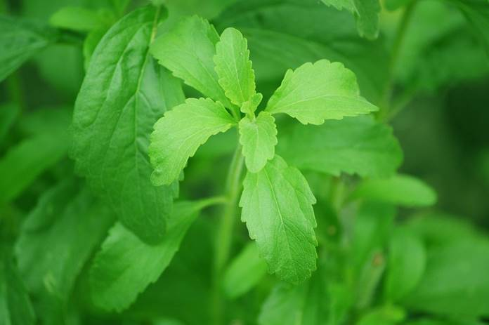 tanaman stevia
