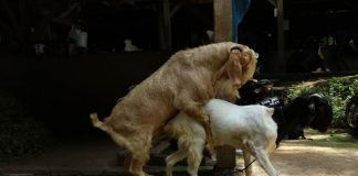 perkawinan kambing
